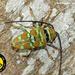 Sternotomis pulchra - Photo (c) Guy Tansley, todos los derechos reservados