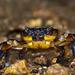 Potamonautidae - Photo (c) Francois Horton, todos os direitos reservados
