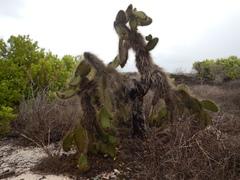 Opuntia echios image