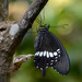 Common Mormon Swallowtail - Photo (c) WK Cheng, all rights reserved