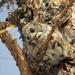 Esquilo-Voador-Siberiano - Photo (c) Татьяна Маврина, todos os direitos reservados
