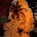 Alcyonacea - Photo (c) Tim Cameron, όλα τα δικαιώματα διατηρούνται