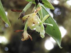 Epidendrum spicatum image