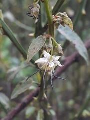 Byttneria ovata - Photo (c) Erika Yanchaguano, todos los derechos reservados