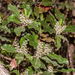 Quintinia serrata - Photo (c) Danilo Hegg, all rights reserved