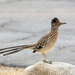 Greater Roadrunner - Photo (c) Kim Moore, all rights reserved