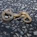 Narrow-headed Whipsnake - Photo (c) Dylan Zdravkovic, all rights reserved