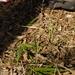 Phanopyrum gymnocarpon - Photo (c) Eric Knight, todos los derechos reservados