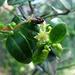 Scutia buxifolia - Photo (c) Pía Urruzuno, כל הזכויות שמורות