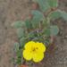 Camissoniopsis cheiranthifolia cheiranthifolia - Photo (c) Eric in SF, todos los derechos reservados, uploaded by Eric Hunt