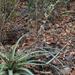 Hechtia ghiesbreghtii - Photo (c) Blanca Nidia Vicente Rivera, todos los derechos reservados