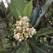 Loquat - Photo (c) mcandrews, some rights reserved (CC BY-NC)