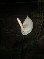 Spathiphyllum wallisii image