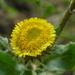 Pulicaria vulgaris - Photo (c) wojtest, todos los derechos reservados