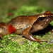Pink-thighed Dancing Frog - Photo (c) Davidvraju, some rights reserved (CC BY-SA)