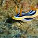 Chromodoris - Photo (c) tamsynmann, all rights reserved
