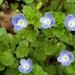 Bird's-eye Speedwell - Photo (c) Kimberlie Sasan, some rights reserved (CC BY-ND)