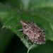 Apateticus lineolatus - Photo (c) Joseph C, todos os direitos reservados