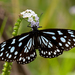 Mariposa Tigre Azul Africana - Photo (c) Rogério Ferreira, todos los derechos reservados
