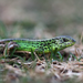 Sand Lizard - Photo (c) Ilias Strachinis, all rights reserved