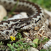 Eurasian Vipers - Photo (c) Ilias Strachinis, all rights reserved