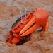 Flame-backed Fiddler Crab - Photo (c) pneuch, all rights reserved