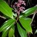 Miconia ciliata - Photo (c) Marcos Silveira, todos los derechos reservados