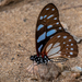 Veined Swordtail - Photo (c) Rogério Ferreira, all rights reserved