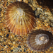 Orange-edged Limpet - Photo (c) Wendy Feltham, all rights reserved