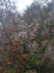 Image of Valeriana officinalis