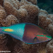 Yellowfin Parrotfish - Photo (c) Tim Cameron, all rights reserved