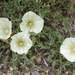Calystegia subacaulis subacaulis - Photo (c) Eric in SF, all rights reserved, uploaded by Eric Hunt