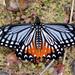 Papilio agestor - Photo (c) WK Cheng, כל הזכויות שמורות