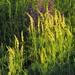 Astragalus asper - Photo (c) Hermann Falkner, todos los derechos reservados, uploaded by HermannFalkner/sokol