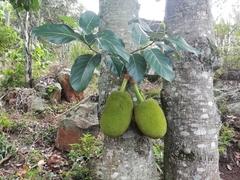 Artocarpus heterophyllus image
