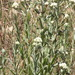 California Cudweed - Photo (c) invertboy, all rights reserved, uploaded by Chris Brown