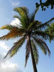 Cocos nucifera image