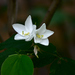 Dwarf White Bauhinia - Photo (c) Chandan Pandey, all rights reserved