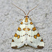 Eight-barred Lygropia Moth - Photo (c) David G. Barker, some rights reserved (CC BY-NC)