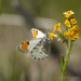 Sara Orangetip - Photo (c) leftcoastnaturalist, all rights reserved, uploaded by Trent Pearce