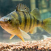 Yellow Perch - Photo Robert Colletta, no known copyright restrictions (public domain)