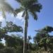 Roystonea borinquena - Photo (c) Michael Thomas, todos los derechos reservados