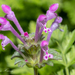 Henbit Deadnettle - Photo (c) hchuang, all rights reserved