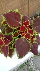 Solenostemon scutellarioides image