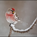 Common Redpoll - Photo (c) Cynthia Crawford, all rights reserved