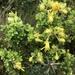 Monticalia arbutifolia - Photo (c) Esteban Suárez, todos los derechos reservados