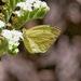 Eurema mexicana mexicana - Photo (c) Bill Levine, all rights reserved