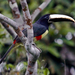 Arasarí de Cuello Negro - Photo (c) Ingrid Macedo, todos los derechos reservados