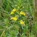 Yellow Glandweed - Photo (c) Tig, all rights reserved