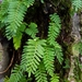 Resurrection Fern - Photo (c) Eric Hunt, all rights reserved